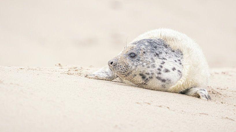 Kegelrob, zeehond @ Düne Helgoland van Martijn van Dellen