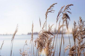 riet in de lente zon van Kristof Ven