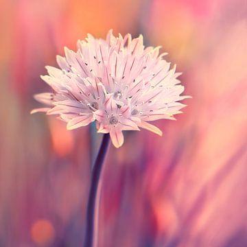 Schnittlauchblüte  von