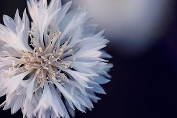 witte korenbloem van Kristof Ven