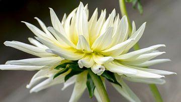 Gele Dalia bloem. von Wilfred Roelofs