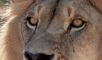 De onbevreesde leeuw van Zuid-Afrika. van Stef Kuipers