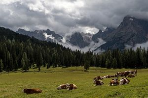 Koeien in de Alpen