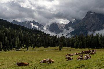 Koeien in de Alpen sur Wim Slootweg