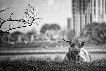 Schotse hooglander van Tilly Meijer