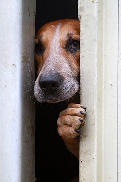 Nieuwsgierige Foxhound von Wybrich Warns