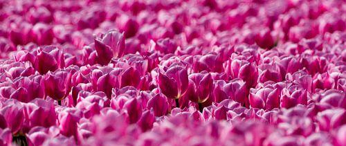 Veld met roze Tulpen  van