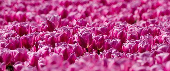 Veld met roze Tulpen