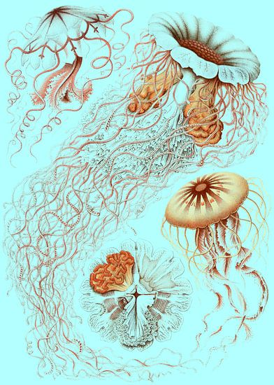 Ernst Haeckel, kwal, jellyfish. Discomedusae, Schweibenquallen van Liszt Collection