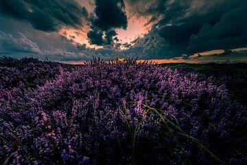 Bloeiende Heide 13 van Peter Heins