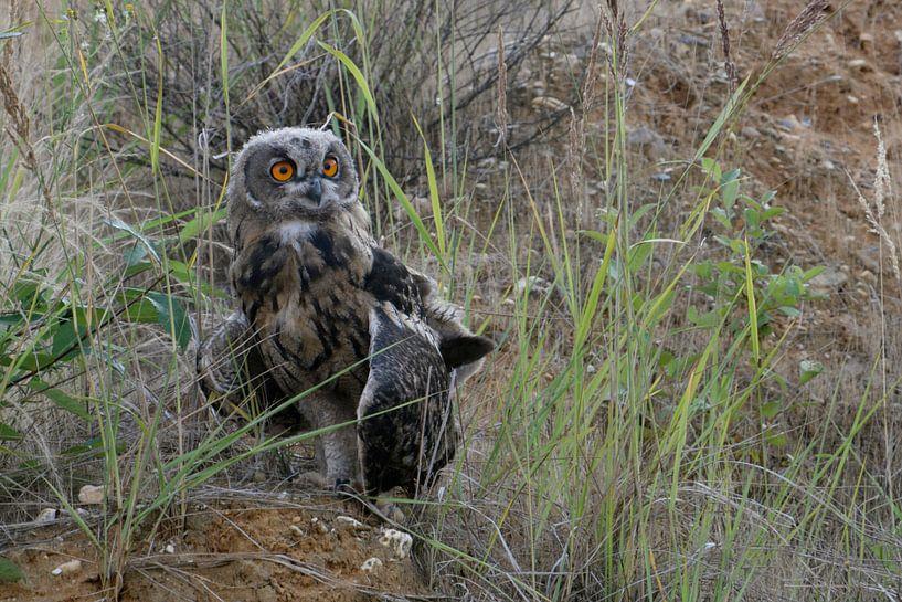 Eurasian Eagle Owl ( Bubo bubo ), young, moulting plumage, fledged van wunderbare Erde