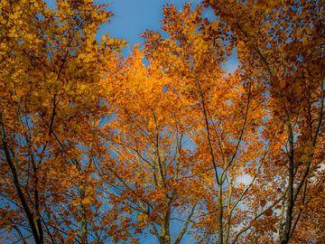Gele bladerenpracht van een beuk in de herfst van Muriel Dorland