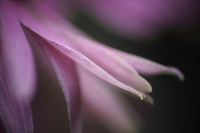 Lilac von Peter Zeedijk