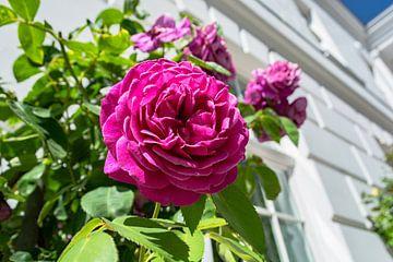 roze hoogstamrozen bij het theater in Putbus op het eiland Rügen van GH Foto & Artdesign