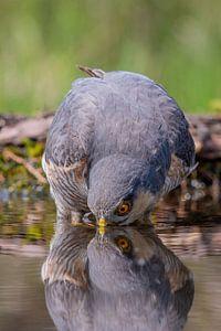 Eurasian Sparrowhawk von