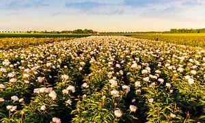 Veld pioenrozen in Flevoland van