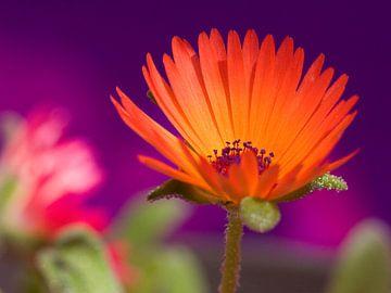 Fleur V - Blumen - Blumen von Herma Egberts
