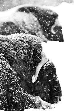 Krachtige gehoornde koppen van twee muskusossen close-up. Donkere, zwarte achtergrondGekleurd, zwart van Michael Semenov