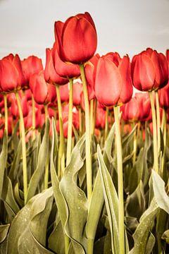 Rotes Tulpenfeld im Hochformat. von Anjo ten Kate