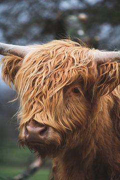 Schotse hooglander portret van Shotsby_MT