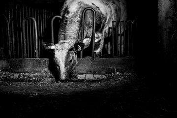 Koe in oude stal van Danai Kox Kanters