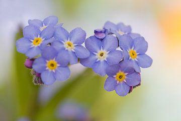 Blauwe Vergeet-me-nietjes van Dagmar Hijmans