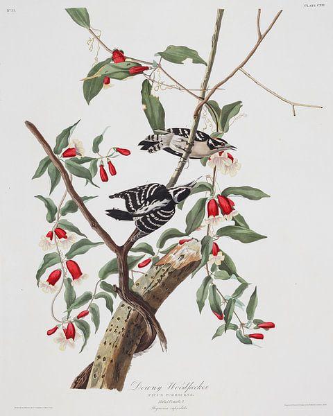 Donsspecht van Birds of America