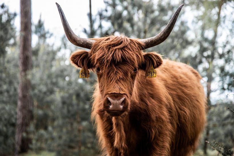 Stoere Schotse Hooglander von Miranda Snoeijen