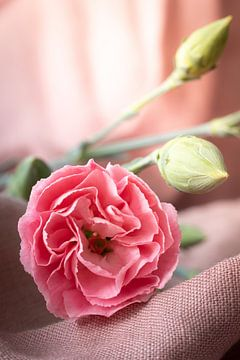 Rosa Nelke auf rosa Leinen von Maaike Zaal