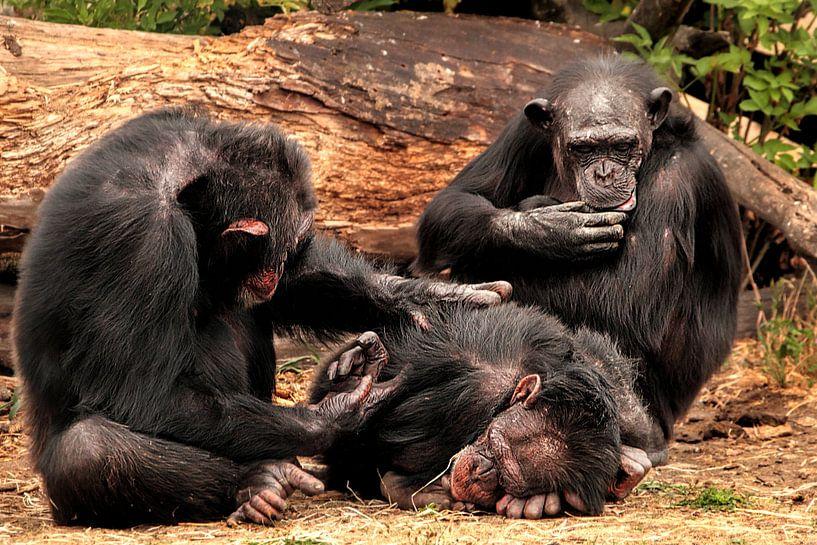 Chimpansees van Kees de Knegt