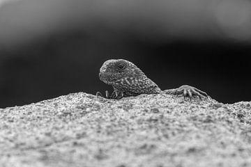Jonge Zeeleguaan Galapagos Eilanden van Lex van Doorn