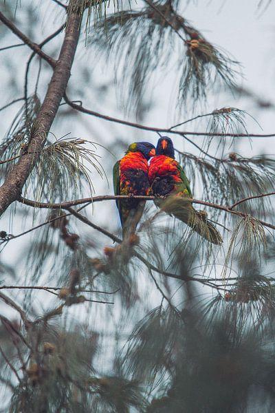 verliefde lori's in de boom van Geke Woudstra