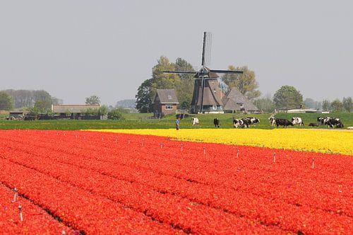 Tulpenveld nabij Opmeer van
