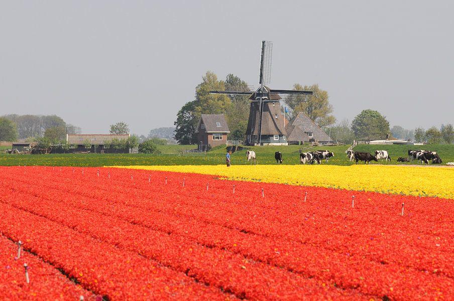 Tulpenveld nabij Opmeer