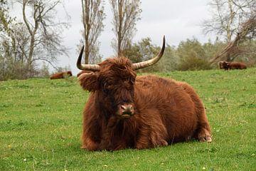 Schotse Hooglander ligt rustig in een grasland van Robin Verhoef