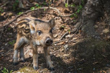 Klein wild biggetje van een wild zwijn van Anouschka Hendriks