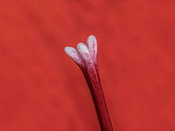 Stamper van een amarillusplant van Harrie Muis