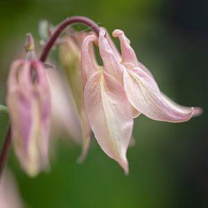 roze akelei in de tuin van anne droogsma