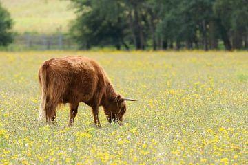 Schotse Hooglander grazend in een weide met gele bloemen. van Jacqueline Gerhardt