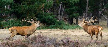 Red Deer during rut on the Hoge Veluwe sur Erwin Maassen van den Brink