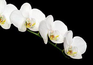 Weiße Orchidee von Dennis Carette