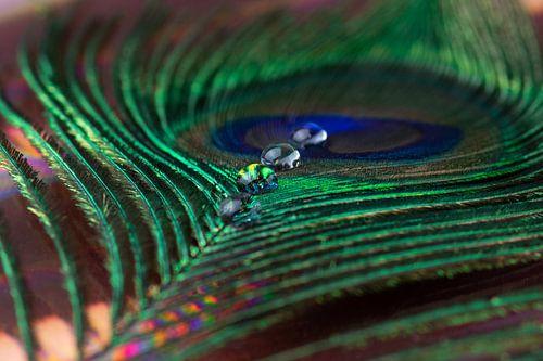 Pauwenveer met waterdruppels