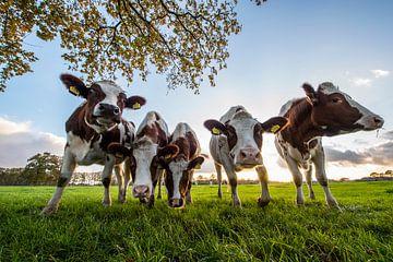 Nieuwsgierige koeien op een rij van Rob Herstel