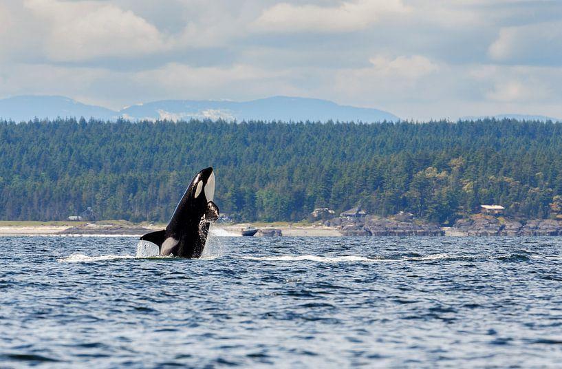 Een springende orka sur Menno Schaefer