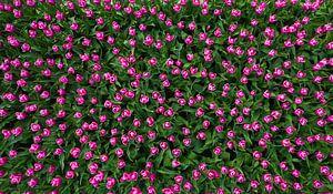 Roze tulpen van jody ferron