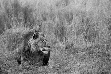 Lion dans les roseaux sur Felix Sedney