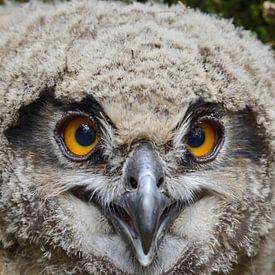 Eurasian Eagle Owl / Uhu ( Bubo bubo ) young chick, jumped out of nest, still unfledged, sitting on  van wunderbare Erde