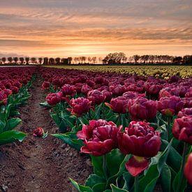 Rode dubbele tulpen bij zonsondergang van John Leeninga