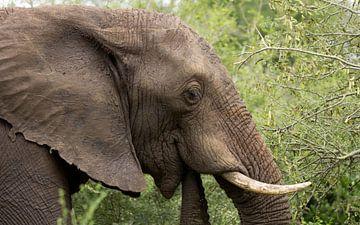 Olfiant, Kruger Park Zuid Afrika van