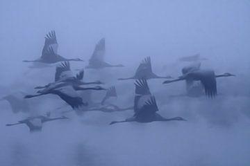 Grues dans le brouillard, yaki zander sur 1x